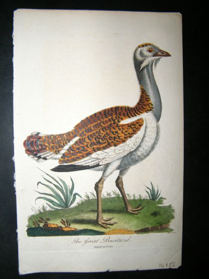 After George Edwards C1800 Hand Col Bird Print. The Great Bustard | Albion Prints
